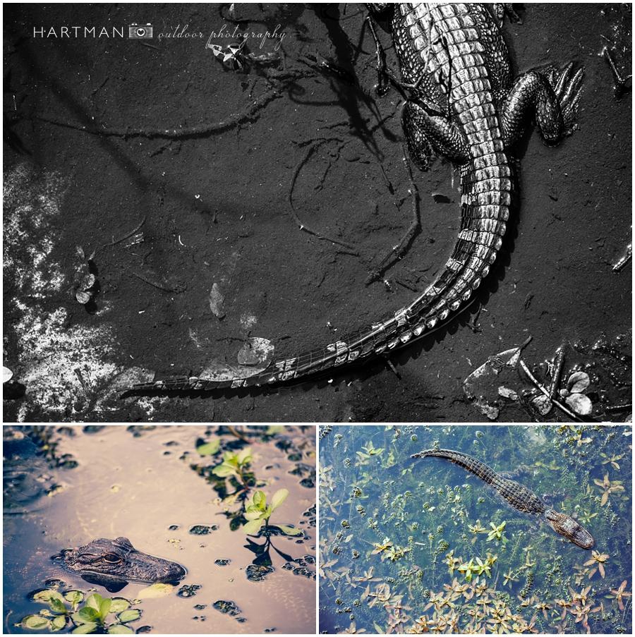 Tampa Florida Trip Alligator