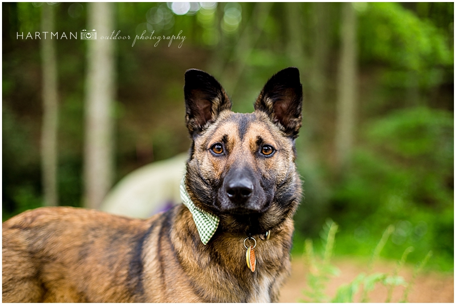 German Shepherd Ring Bearer Dog