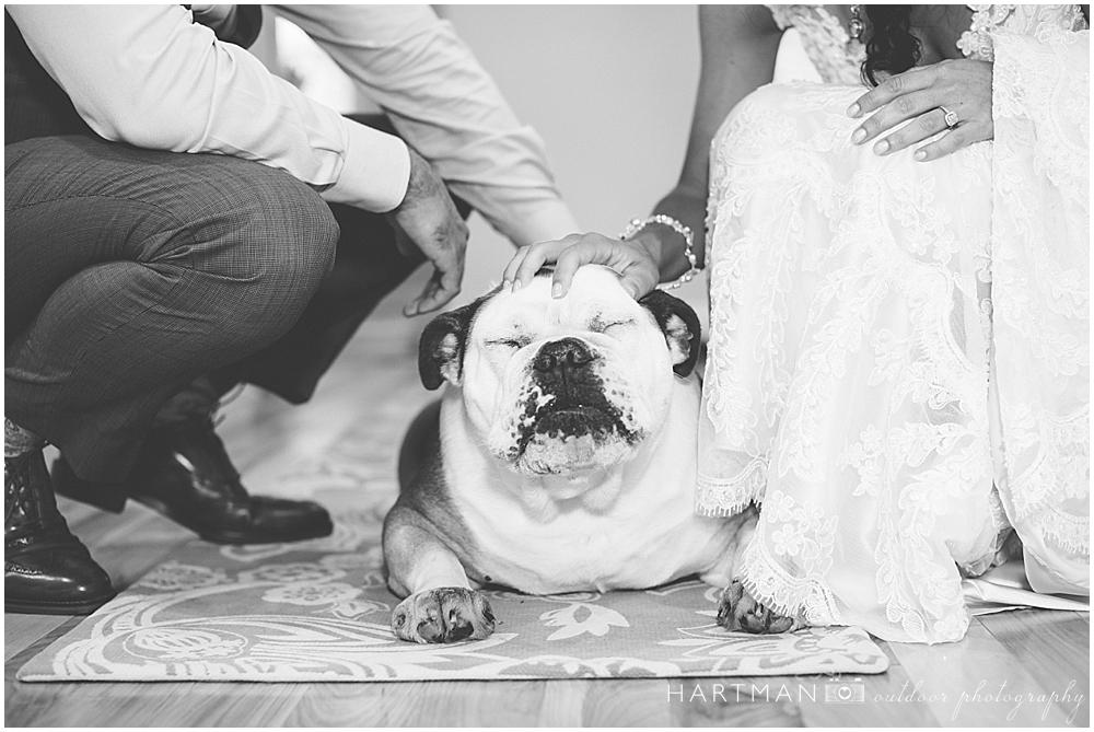 Wedding English Bulldog
