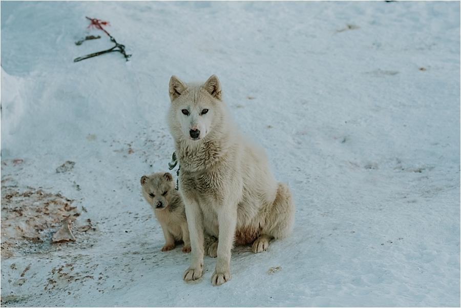 Greenlandic sled dog