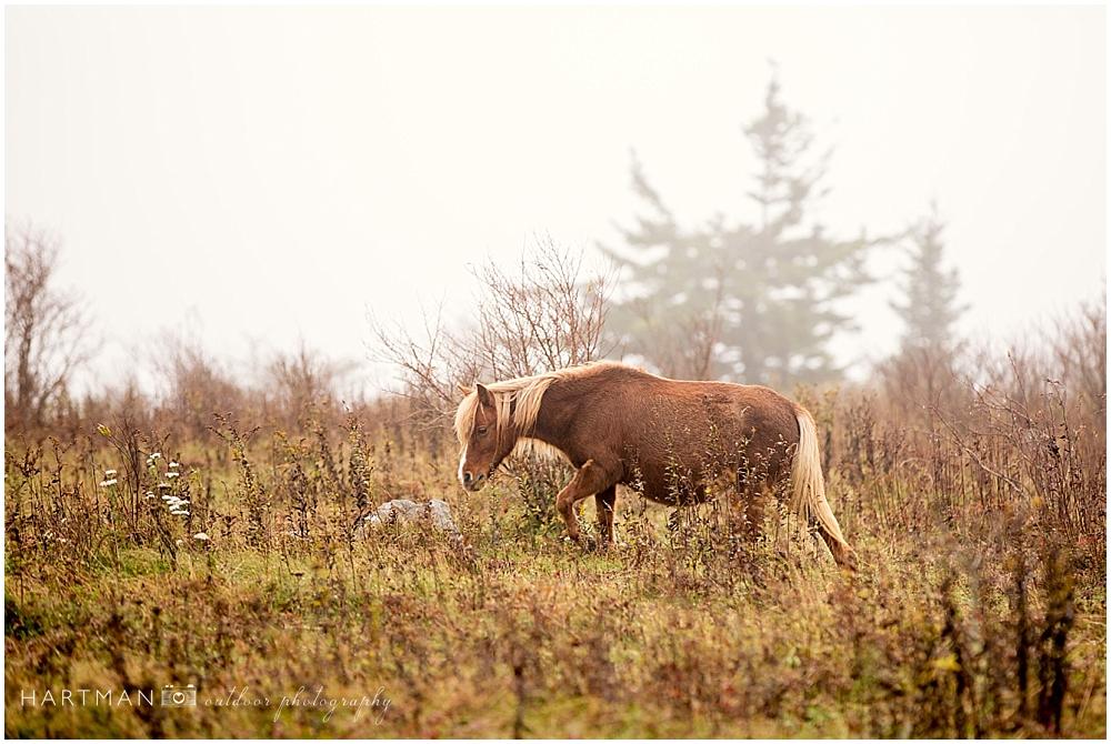 Grayson Highlands Engagement Pony