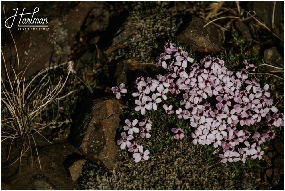 Iceland Wildflowers _0004