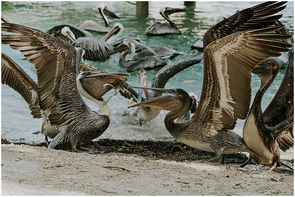 Pelicans Fighting over Fish