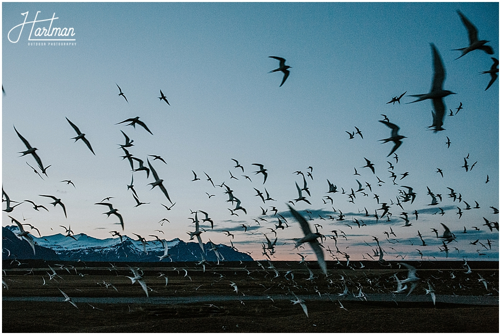 Arctic Terns in Iceland